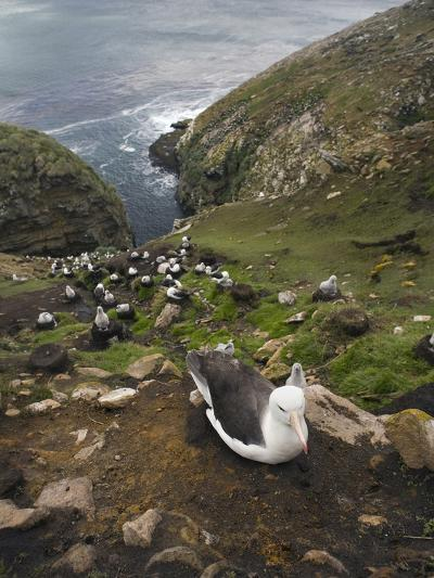 Black-Browed Albatross Nesting Colony (Thalassarche Melanophrys), Falkland Islands-David Cobb-Photographic Print