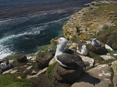 Black-Browed Albatross Nesting Colony (Thalassarche Melanophrys), Falkland Islands-David Cobb-Photographic Print