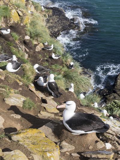 Black-Browed Albatross or Mollymawk, Colony. Falkland Islands-Martin Zwick-Photographic Print