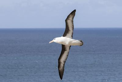Black-Browed Albatross or Mollymawk, Flight Shot. Falkland Islands-Martin Zwick-Photographic Print