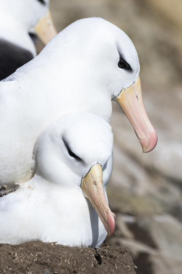 Black-Browed Albatross or Mollymawk, Mating on Nest. Falkland Islands-Martin Zwick-Photographic Print