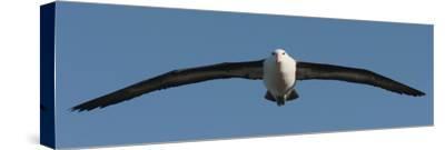 Black-Browed Albatross (Thalassarche Melanophris), Falkland Islands
