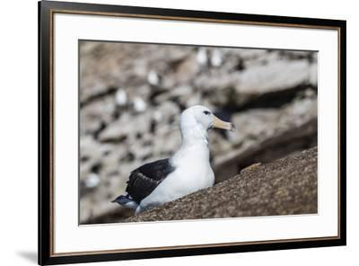 Black-browed albatross (Thalassarche melanophris) in breeding colony on Saunders Island, Falkland I-Michael Nolan-Framed Photographic Print