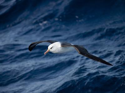 Black-Browed Albatross (Thalassarche Melanophrys), Southern Ocean, Antarctic, Polar Regions-Thorsten Milse-Photographic Print