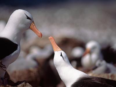 Black Browed Albatross-Charles Sleicher-Photographic Print