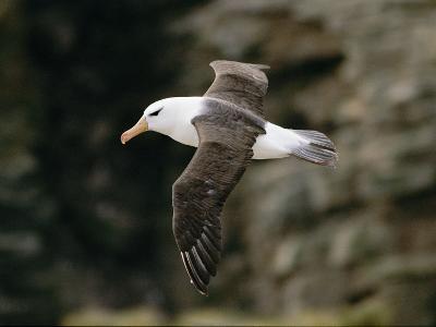 Black-Browed Albatross-Steve Raymer-Photographic Print