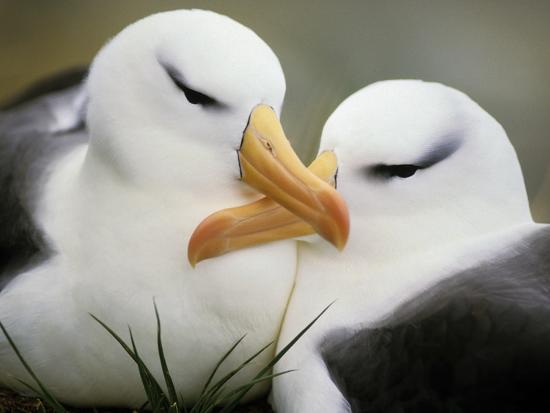 Black-Browed Albatrosses Courting, Thalassarche Melanophrys, South Georgia Island-Frans Lanting-Photographic Print