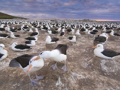 Black-Browed Albatrosses Courting, Thalassarche Melanophrys, Steeple Jason Island, Falkland Islands-Frans Lanting-Photographic Print