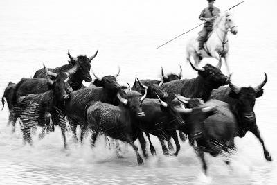 Black Bulls of Camargue and their Herder Running Through the Water, Camargue, France-Nadia Isakova-Photographic Print