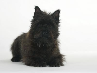 Black Cairn Terrier Lying Down with Head Up-Petra Wegner-Photographic Print