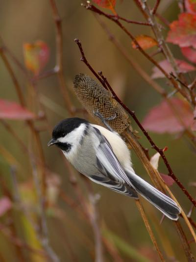 Black Capped Chickadee, Eating Flower Seeds, Grand Teton National Park, Wyoming, USA-Rolf Nussbaumer-Photographic Print