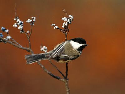 Black-Capped Chickadee (Parus Atricapillus) in Bayberry Bush, Long Island, New York-Tom Vezo/Minden Pictures-Photographic Print