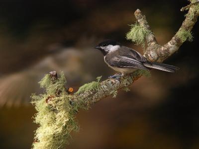 Black-Capped Chickadee, Parus Atricapillus, on Lichen-Covered Branch-Darlyne A^ Murawski-Photographic Print