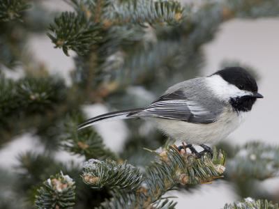 Black-Capped Chickadee, Poecile Atricapilla, in a Snow-Dusted Tree-John Cancalosi-Photographic Print