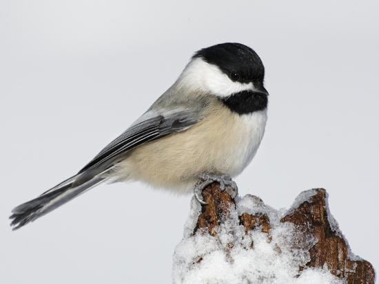 Black-Capped Chickadee (Poecile Atricapillus) on Icy Stump-Arthur Morris-Photographic Print