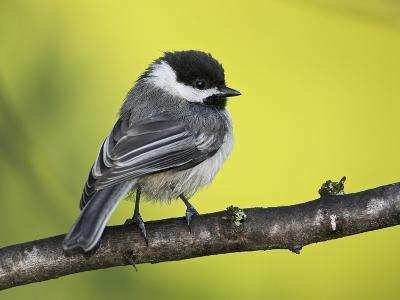 Black-Capped Chickadee (Poecile Atricapillus) Perched on a Branch, Ontario Canada-Glenn Bartley-Photographic Print