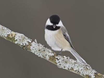 Black-Capped Chickadee (Poecile Atricapillus) Perched on a Branch, Ottawa, Ontario, Canada-Glenn Bartley-Photographic Print
