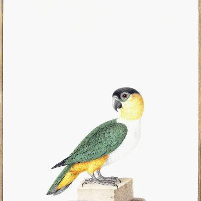 Black-Capped Parrot-Nicolas Robert-Giclee Print