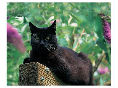Black Cat Sitting On The Fence--Art Print