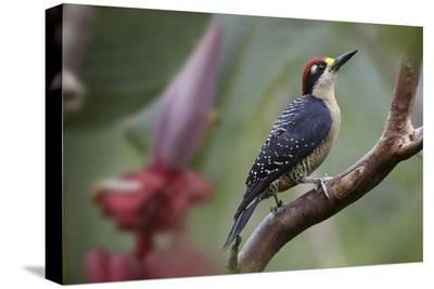 Black-cheeked Woodpecker male, Costa Rica-Tim Fitzharris-Stretched Canvas Print