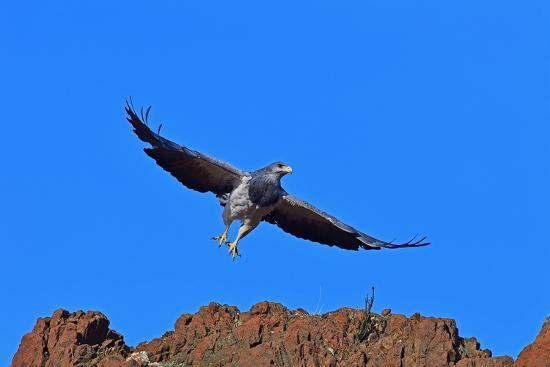 Black Chested Buzzard Eagle (Geranoates Melanoleucus), Patagonia, Chile, South America-Pablo Cersosimo-Photographic Print