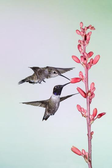 Black-Chinned Hummingbird Adult Male Feeding-Larry Ditto-Photographic Print