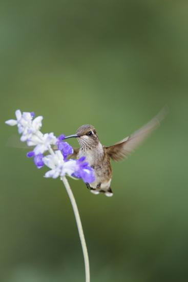 Black-Chinned Hummingbird Feeding-Larry Ditto-Photographic Print