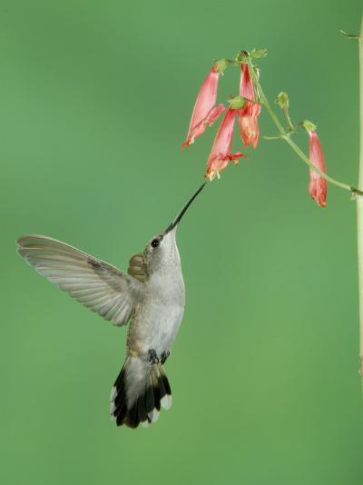 Black Chinned Hummingbird, Female Feeding on Penstemon Flower, Arizona, USA-Rolf Nussbaumer-Photographic Print