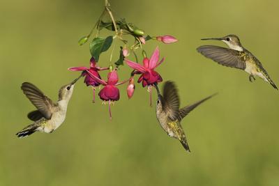 https://imgc.artprintimages.com/img/print/black-chinned-hummingbird-females-feeding-hill-country-texas-usa_u-l-q1d2fhq0.jpg?p=0