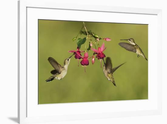 Black-chinned Hummingbird females feeding, Hill Country, Texas, USA-Rolf Nussbaumer-Framed Premium Photographic Print