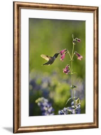 Black-chinned Hummingbird male feeding, Hill Country, Texas, USA-Rolf Nussbaumer-Framed Premium Photographic Print