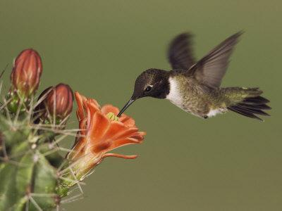 Black-Chinned Hummingbird, Uvalde County, Hill Country, Texas, USA-Rolf Nussbaumer-Photographic Print