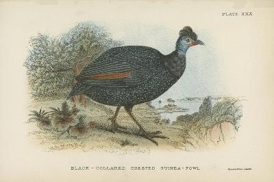 Black-Collared Crested Guinea-Fowl-English School-Giclee Print