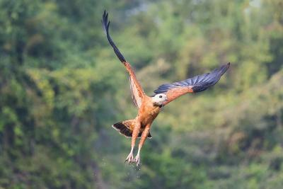 Black-Collared Hawk (Busarellus Nigricollis) in Flight, Pantanal, Mato Grosso, Brazil-G&M Therin-Weise-Photographic Print