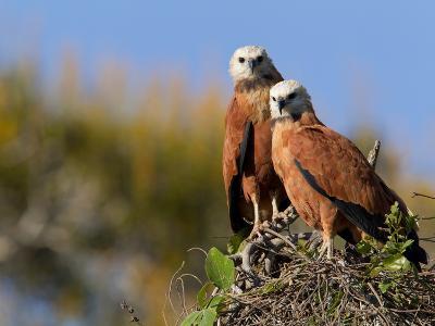 Black-Collared Hawks, Busarellus Nigricollis, in their Nest-Roy Toft-Photographic Print