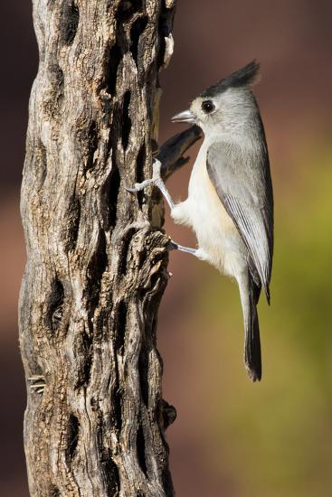 Black-Crested Titmouse Bird Foraging on Cholla Cactus, Davis Mountains, Texas, USA-Larry Ditto-Photographic Print