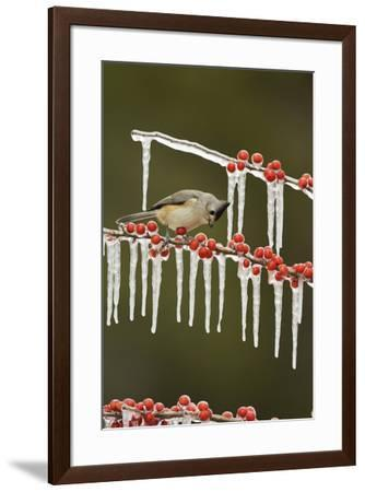 Black-crested Titmouse perched on icy Possum Haw Holly, Hill Country, Texas, USA-Rolf Nussbaumer-Framed Premium Photographic Print