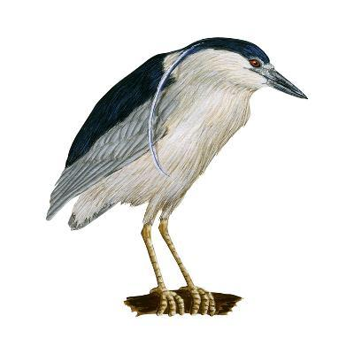 Black-Crowned Night Heron (Nycticorax Nycticorax), Birds-Encyclopaedia Britannica-Art Print