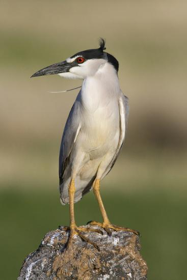 Black-Crowned Night Heron-Ken Archer-Photographic Print