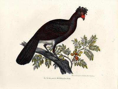Black Curassow, 1864--Giclee Print