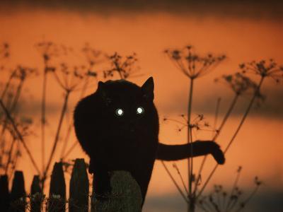 Black Domestic Cat Silhouetted Against Sunset Sky, Eyes Reflecting the Light, UK-Jane Burton-Photographic Print