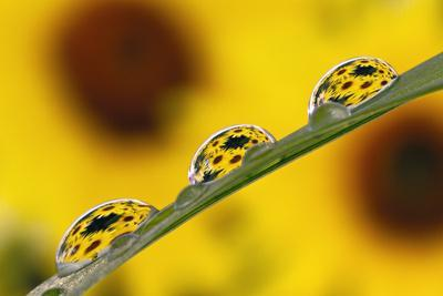 https://imgc.artprintimages.com/img/print/black-eyed-susan-s-refracted-in-dew-drops-on-blade-of-grass_u-l-q1d0y590.jpg?p=0