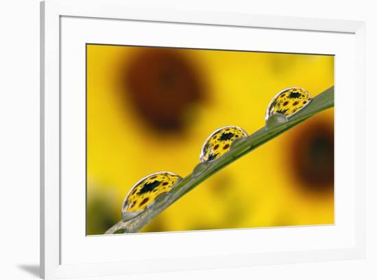 Black eyed Susan's refracted in dew drops on blade of grass.-Adam Jones-Framed Premium Photographic Print
