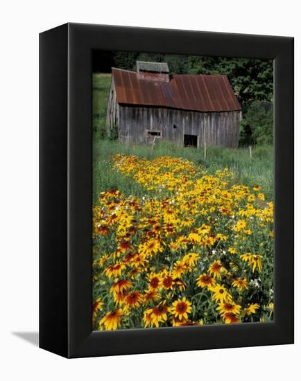 Black Eyed Susans and Barn, Vermont, USA-Darrell Gulin-Framed Premier Image Canvas