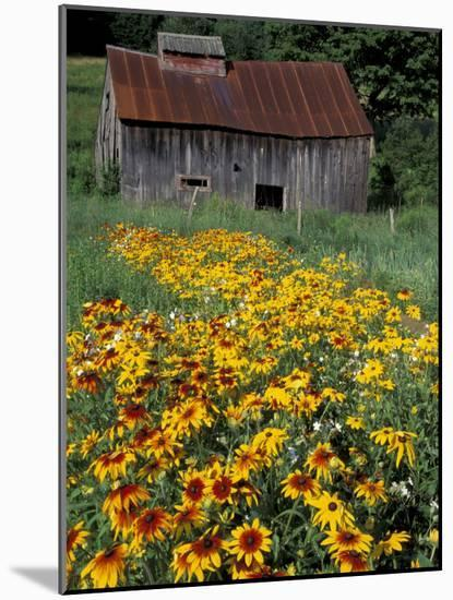Black Eyed Susans and Barn, Vermont, USA-Darrell Gulin-Mounted Photographic Print