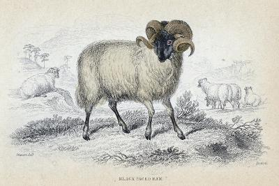 Black Faced Ram, Mid 19th Century-William Home Lizars-Giclee Print