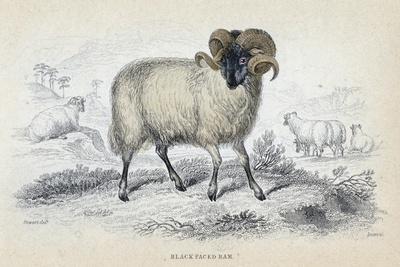 https://imgc.artprintimages.com/img/print/black-faced-ram-mid-19th-century_u-l-ptj4rv0.jpg?p=0