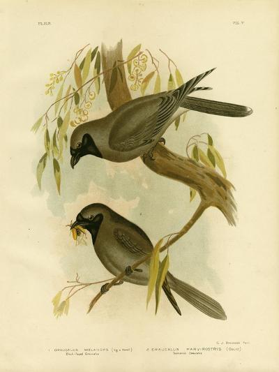 Black-Faced Shrike, 1891-Gracius Broinowski-Giclee Print