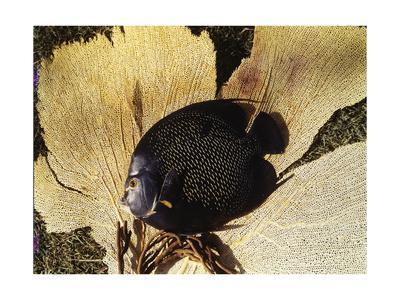 https://imgc.artprintimages.com/img/print/black-fish-photographed-against-pale-coral_u-l-p8anfn0.jpg?p=0