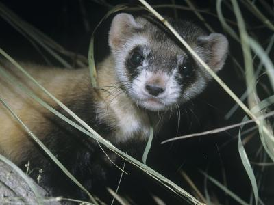 Black-Footed Ferret (Mustela Nigripes), a Highly Endangered Species of North American Mammal-Ken Lucas-Photographic Print
